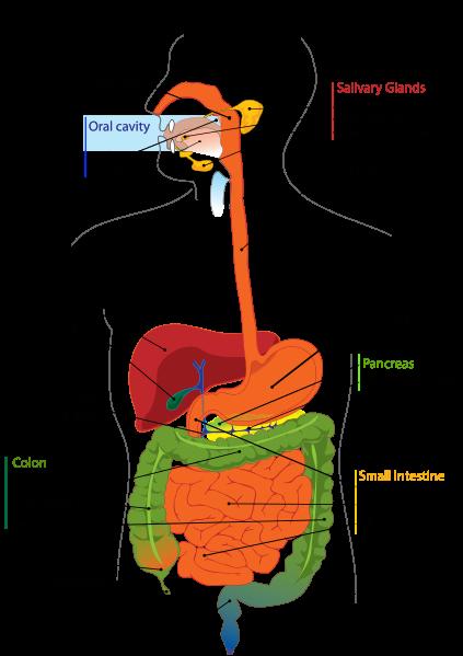 423px-Digestive_system_diagram_en.svg.png